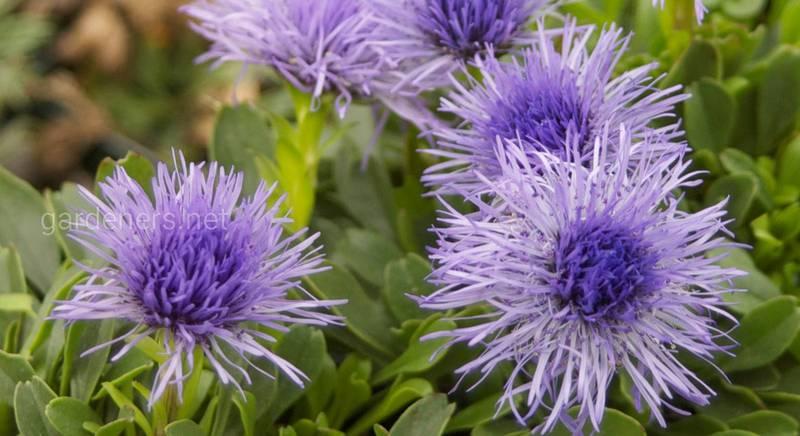 Глобулярия или шаровница — наиболее привлекательные сорта для дикого стиля в саду