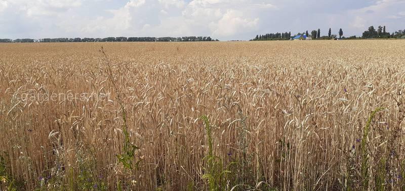 Потребности пшеницы в минеральных питательных веществах! Как использовать азотные подкормки?