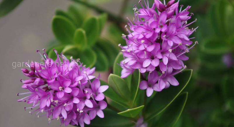 Прикрашаємо сад божественною квіткою -  Гебою, стійкою до низьких температур