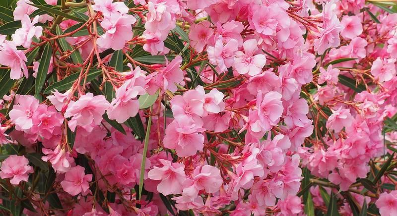 oleander-1521525_1920.jpg