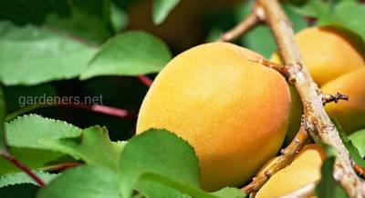 Схема посадки абрикоса