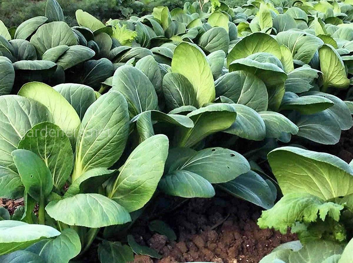 выращивание пак-чой