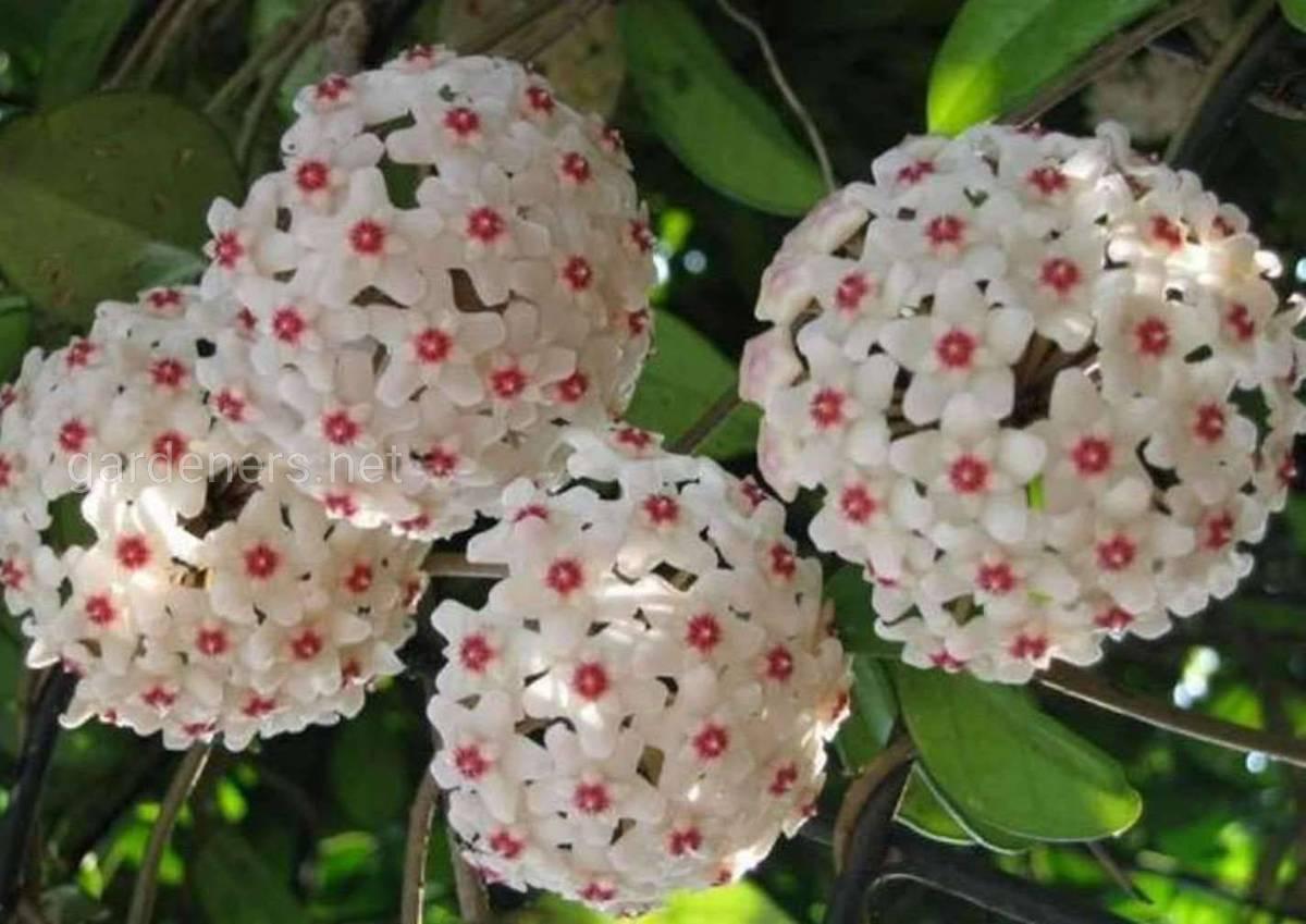 цветение хойи