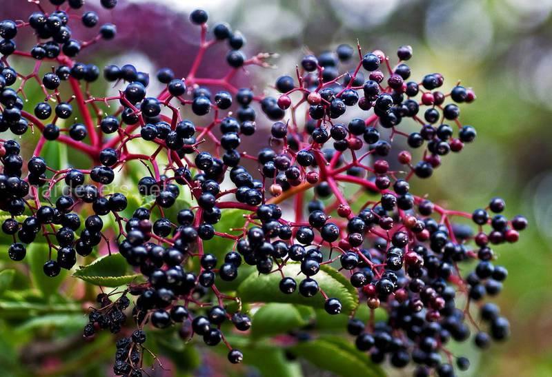Бузина растение, которое лечит простуду и грипп!