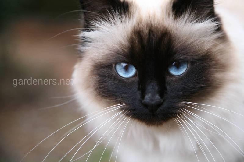 Бірманська кішка: містична краса, якою можуть володіти навіть люди, що страждають від алергії на хутро тварин