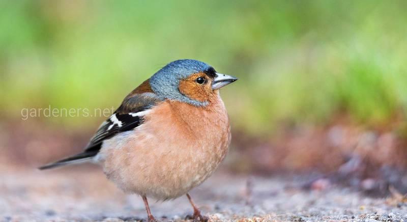 Певчая птица зяблик: какая она, где обитает и чем питается