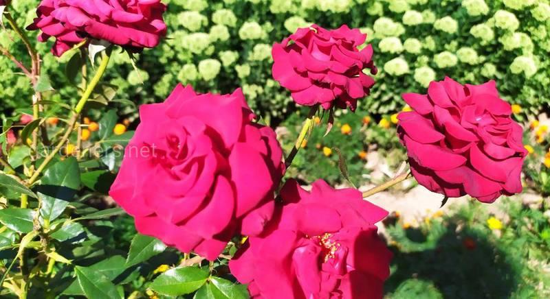 Розы: вредители и болезни