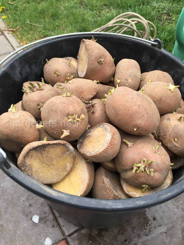 Підгодівля корів коренеплодами та бульбовими овочами!