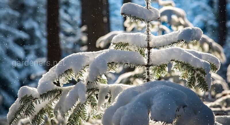 Снег в саду и защита растений на зиму