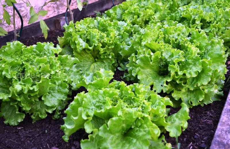 Як захистити салат від боршистої роси, сірої та білої гнилі?