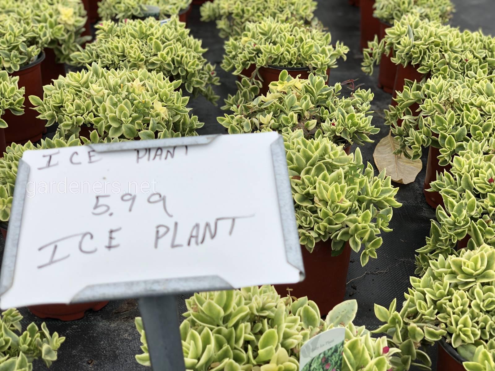 Ice Plant, Florida USA