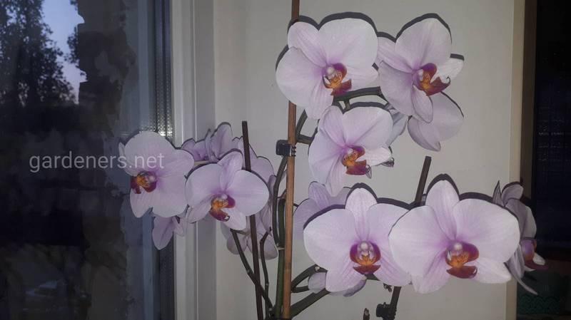 Как распознать и бороться с красным травоядным пауком на орхидее?