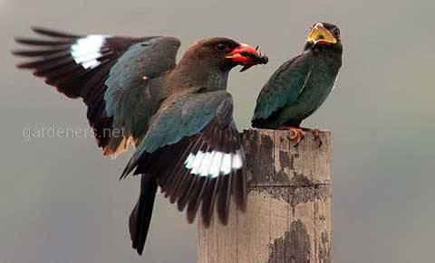 Птица Широкорот восточный