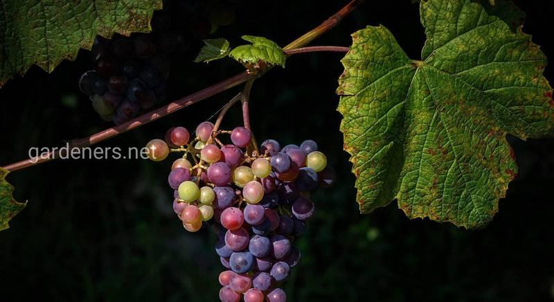 Зачем обрезать виноградную лозу, и когда это лучше делать