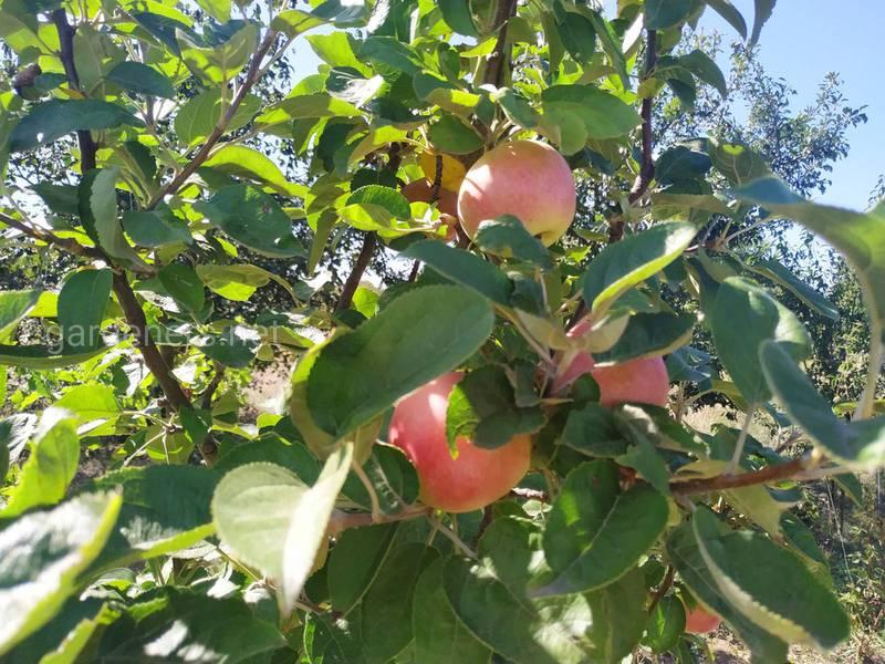 Чому виникає хлороз на плодових деревах? Симптоми