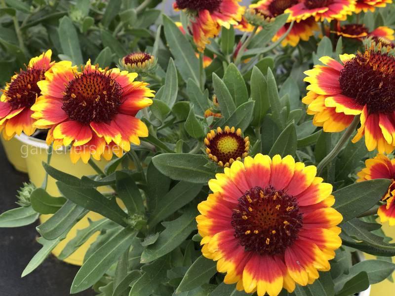 Какие летние цветы помогут в борьбе с вредителями в экологическом саду?