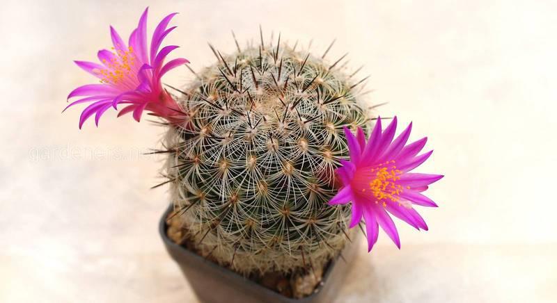 Маммилярия или долихотеле: выбор места, почвы и правильный уход за мохнатым кактусом