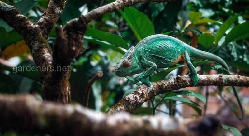 Мадагаскарский хамелеон