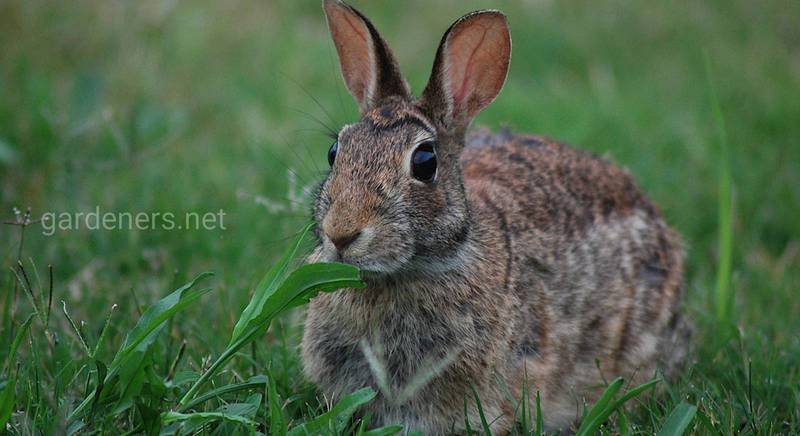 Кролячий гній як добриво