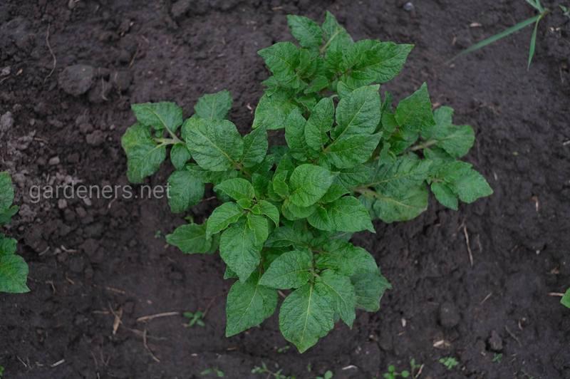 Як поширюється бура гниль картоплі?