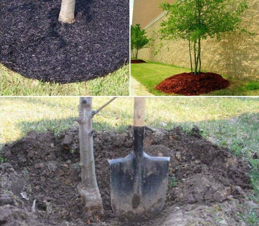 Укрытие ствола дерева на зиму мульчей