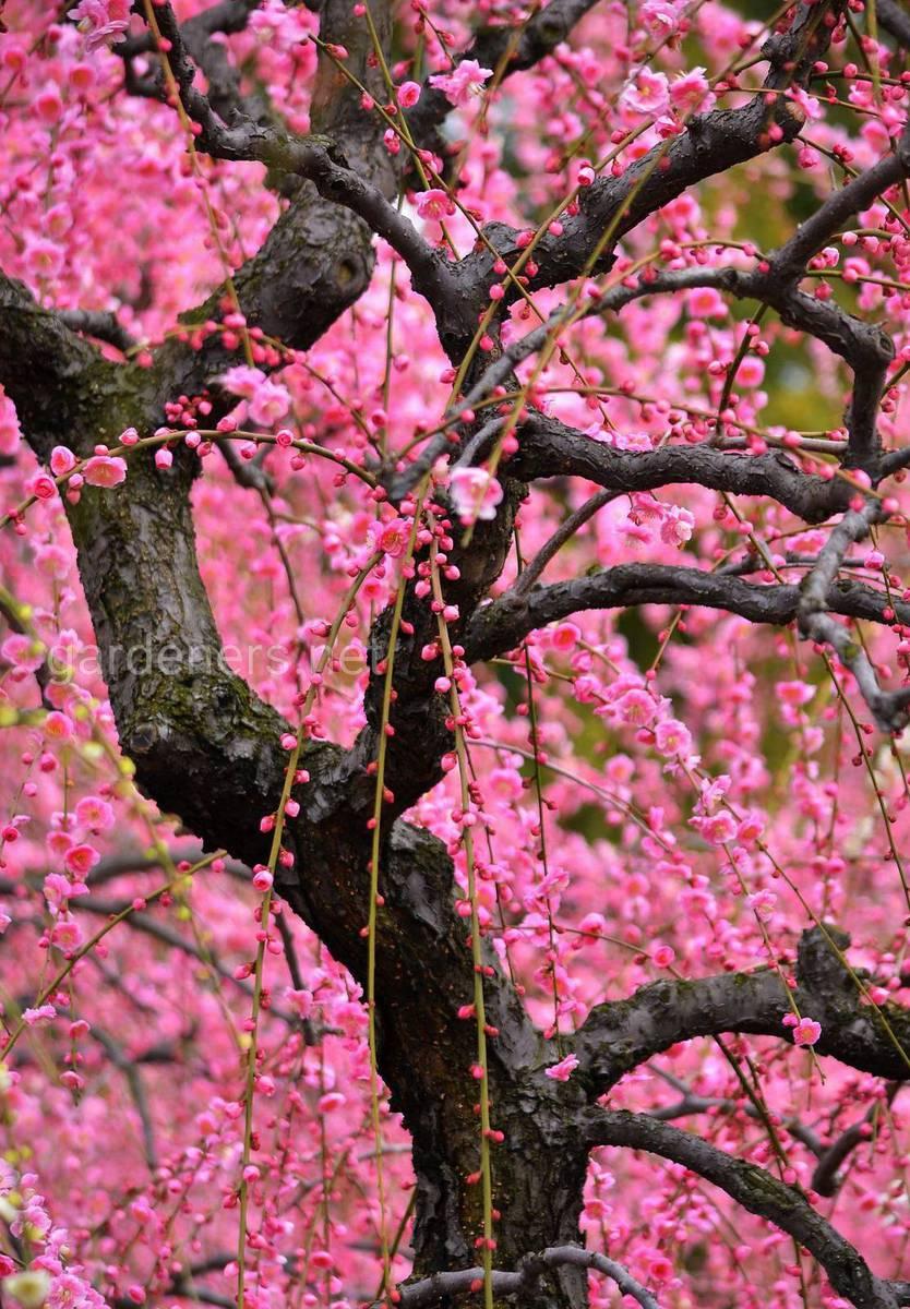 Japanese Plum Tree
