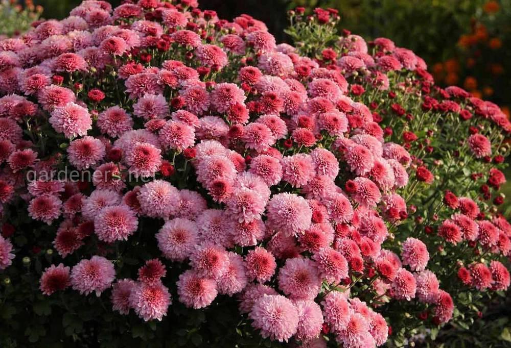 Удобрение хризантемы