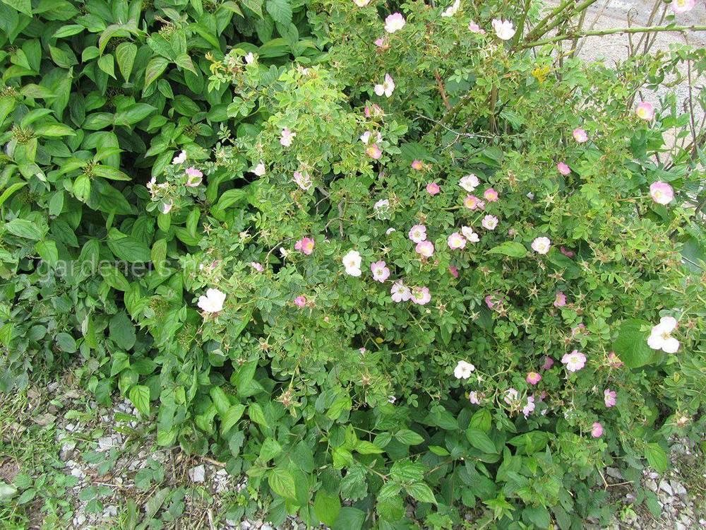 Роза рубигиноза