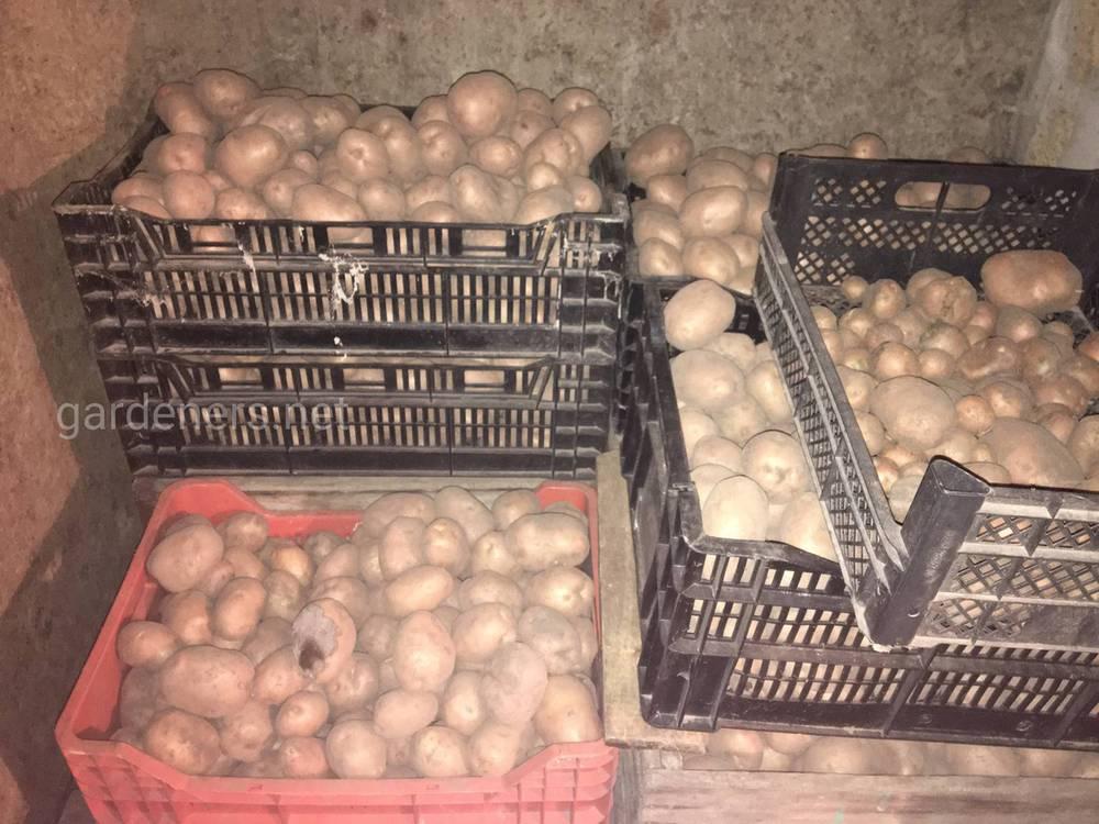 Посадка картофеля по регионам страны