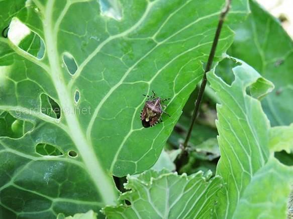Щитники – комахи, що відносяться до сімейства клопів