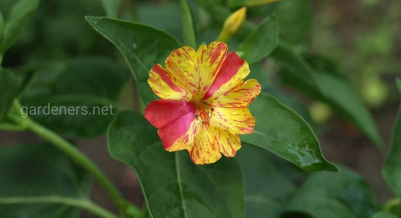 Які квіти підійдуть для вирощування на північній та східній терасі?
