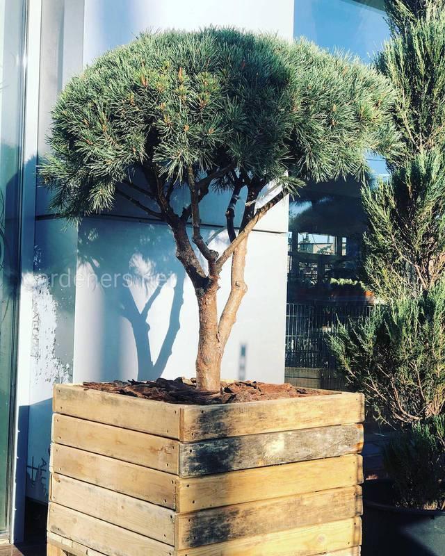 Секрети успішного вирощування бонсая в саду