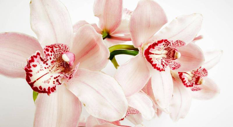 Орхідея: шість порад догляду