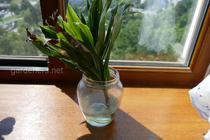 Как вырастить комнатные растения в воде?