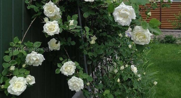 Роза китайска