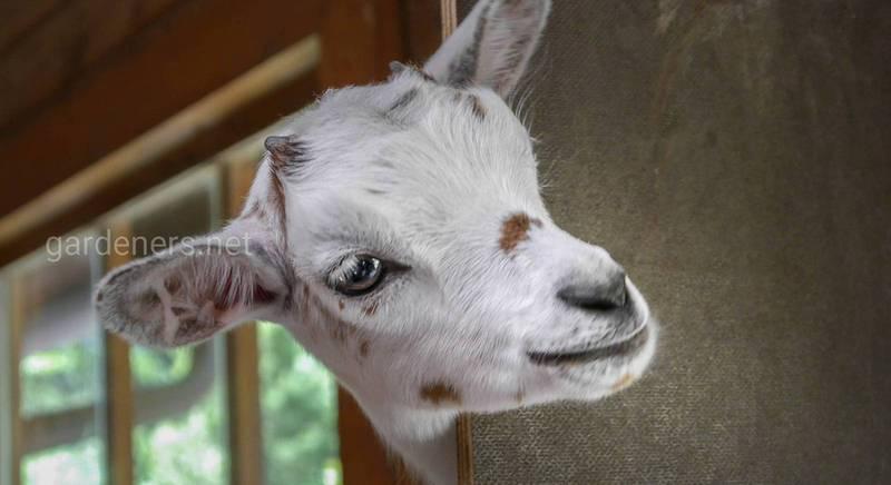Как содержать коз, козлят и козлов в домашних условиях
