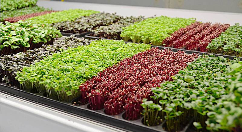 ТОП-4 способа выращивания микрозелени