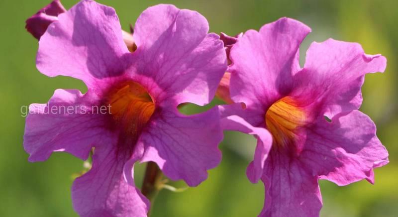 Инкарвиллея: как ухаживать и красиво разместить в саду? Часть 2