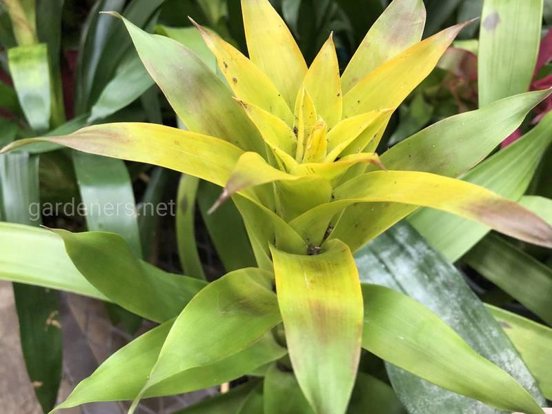 Бромелієві - рослини з тропічних лісів Бразилії. Найпопулярніші типи