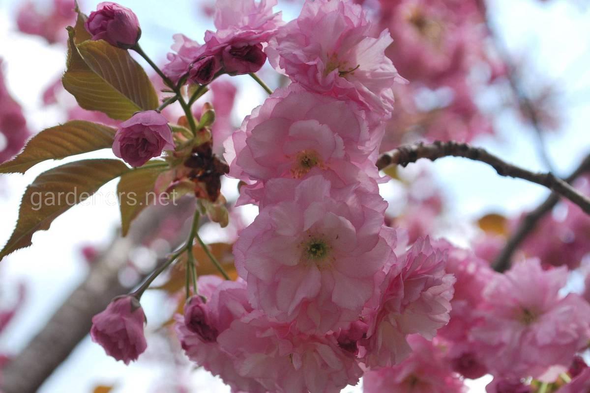 мелкопильчатая вишня выращивание