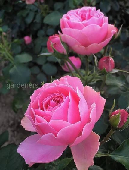 Розы Leonardo da Vinci