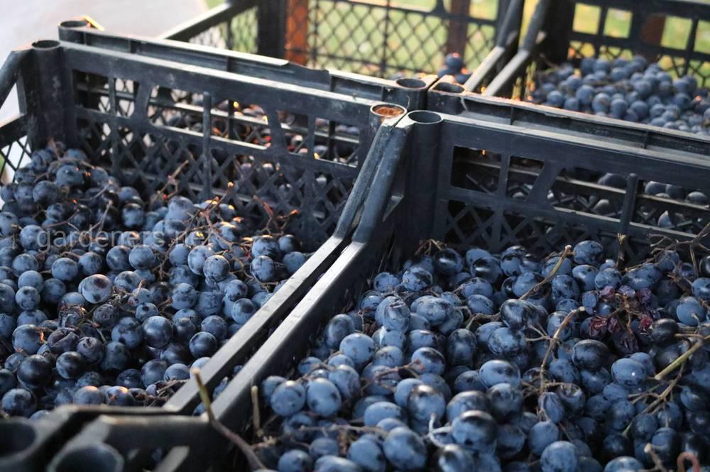 Основные правила хранения винограда в свежем виде зимой