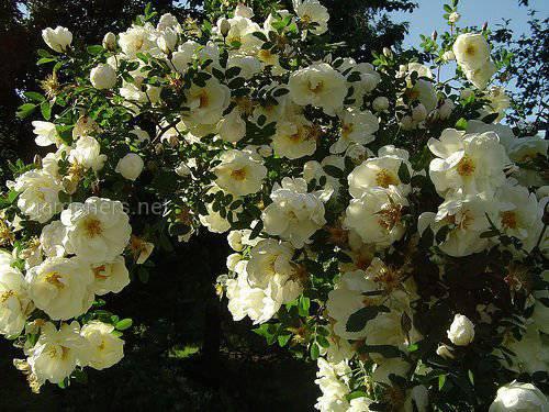 Роза бедренцоволистная
