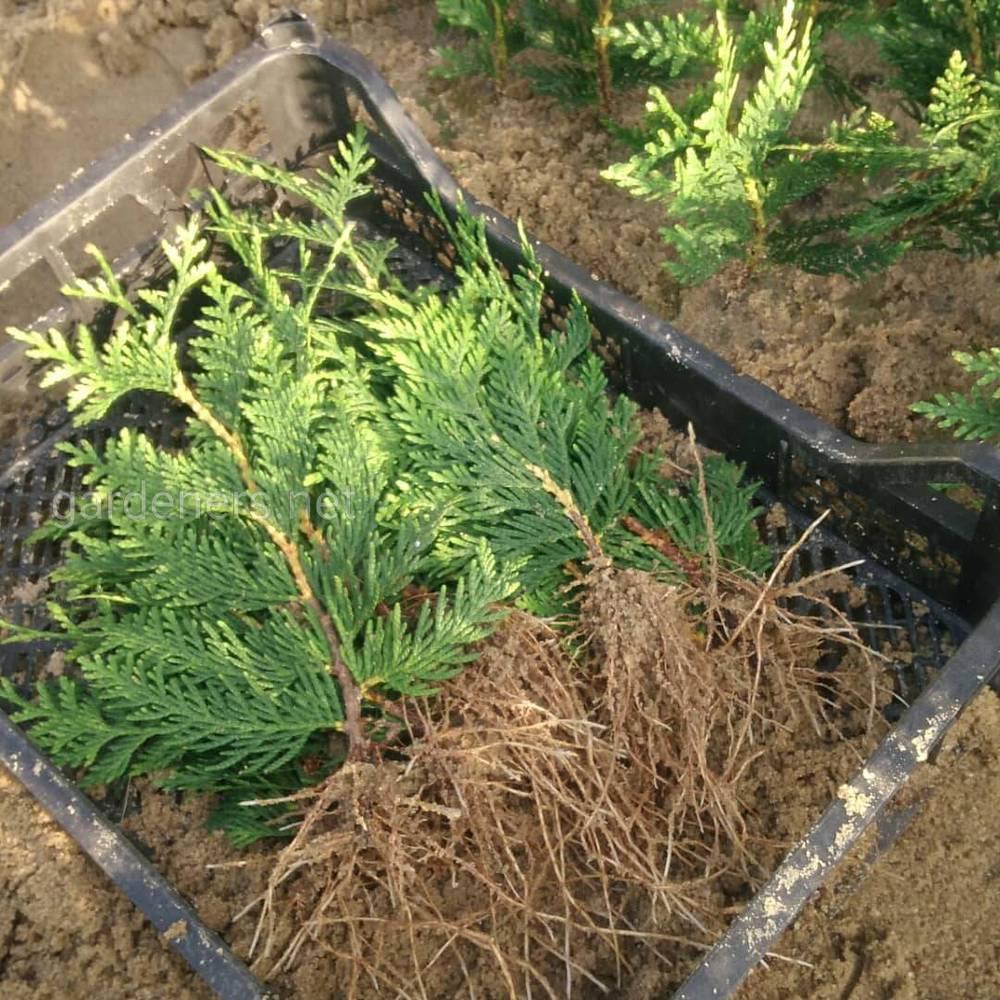 Выращиваю устойчивые растения