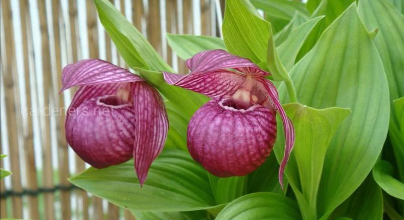 Найбільш популярні види ціпріпедіумов – орхідей, які можна вирощувати в наших садах і в кімнатній культурі
