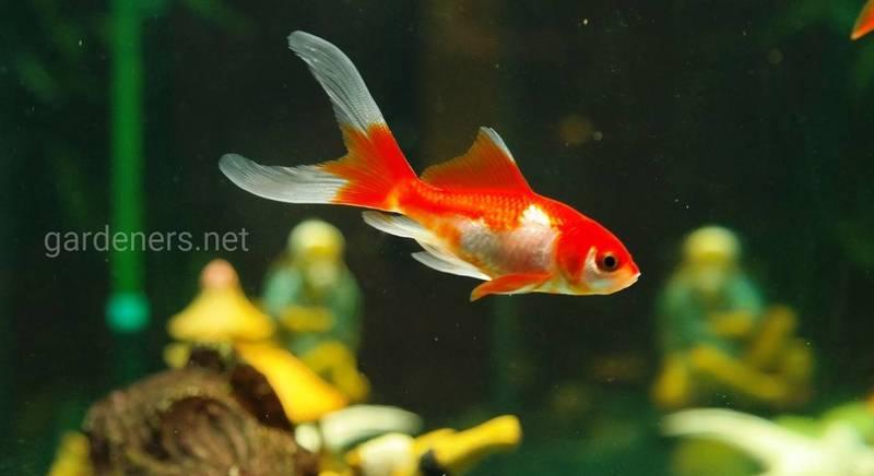 15 цікавих фактів про золотих рибок