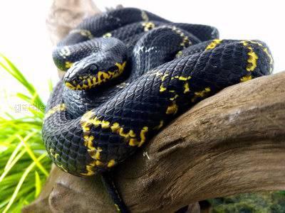 Змея Полоз амурский