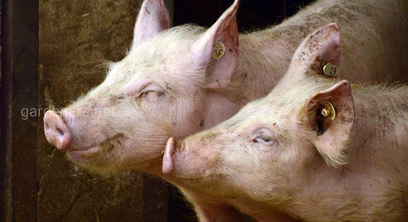 Как взвесить свинью