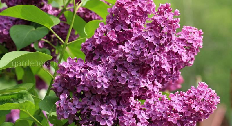 Сирень: ТОП-20 самых красочных видов для вашего сада