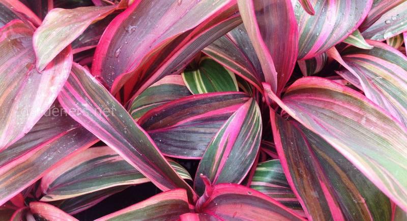 Кордилина: виды и сорта пальмообразного растения с пестрыми листьями